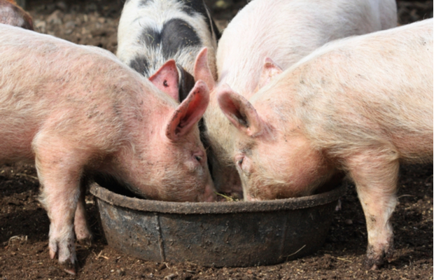 BASF and Royal DSM embroiled in animal feed patent suits
