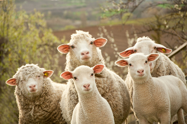 """Dolly the sheep"" clones cannot be patented"